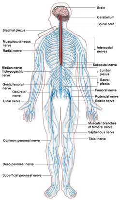 Diagram showing the entire, integrated nervous system